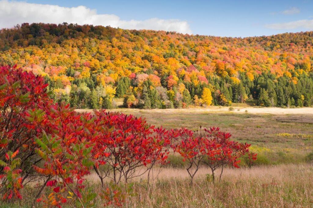 sonbaharda kırmızılaşan ağaç