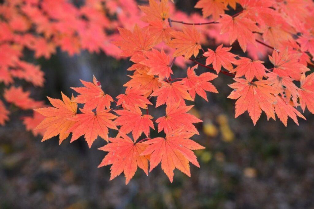 kırmızı ağaç çeşitleri