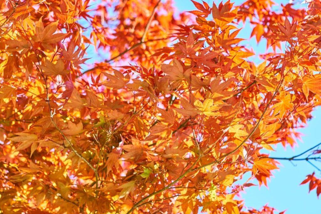 kırmızı yapraklı ağaç türleri