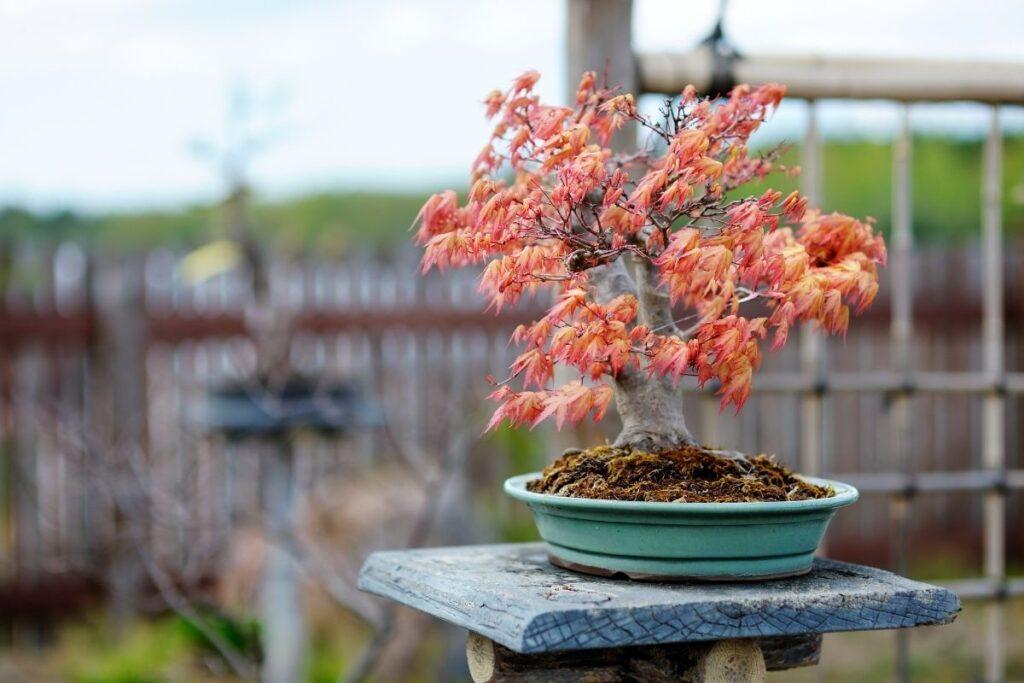 Kırmızı Bonsai