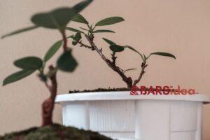 Saksıda Banyan Ağacı