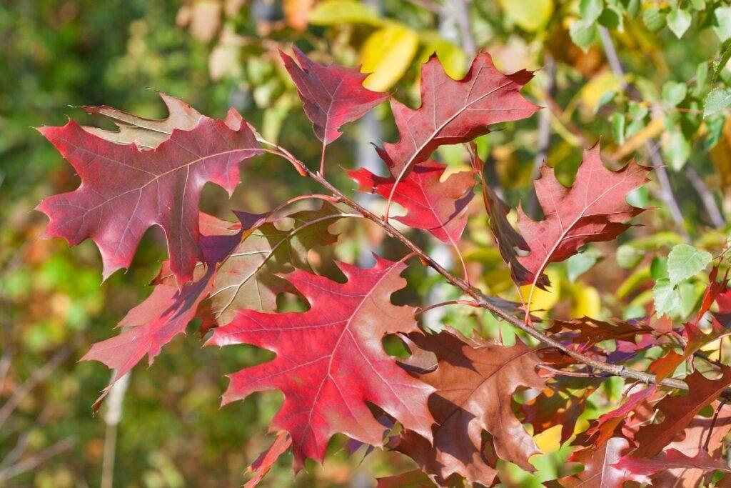 kırmızı yapraklı ağaçlar