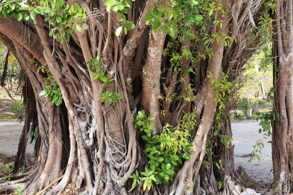 banyan ağacı özellikleri