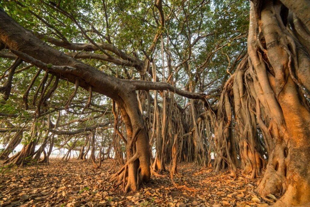 banyan ağacı yetiştirmek
