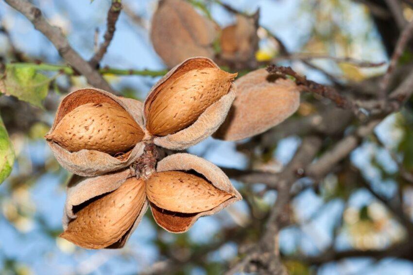 badem ağacı