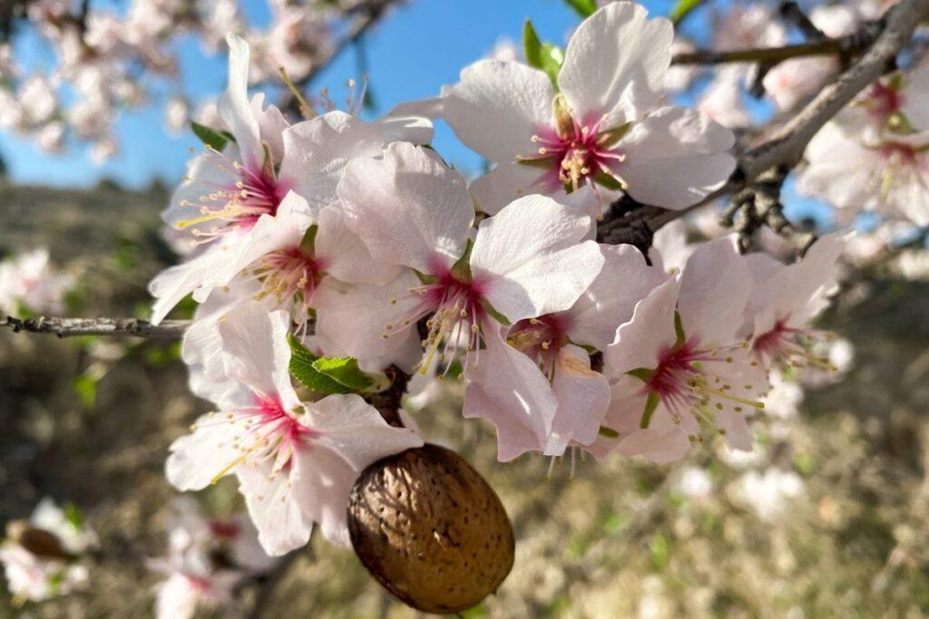 badem ağacının bakımı