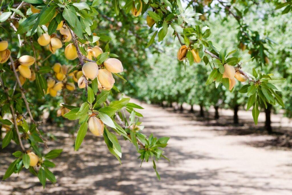 badem ağacı çeşitleri