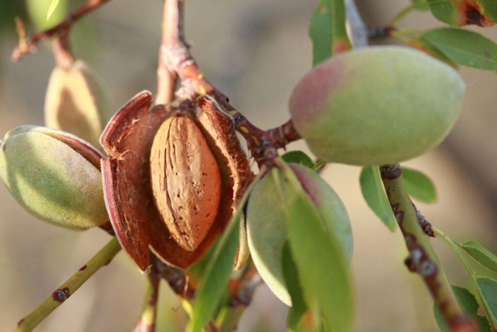 badem ağacı özellikleri